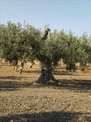 The olive Nocellara Belice is a variety of olive tree that grows only in the Valle del Belice with Castelvetrano Selinunte and C